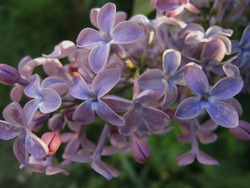 The common lilac (Syringa vulgaris), also known as the French lilac or simply the lilac is a member of the olive (Oleaceae) family.  Close up photo