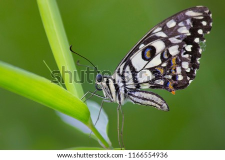 The Common Lime Butterfly sitting on the flower plants in its natural habitat with a nice soft blurry background.