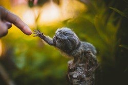 The common marmoset baby on the branch in summer garden with humsn hand