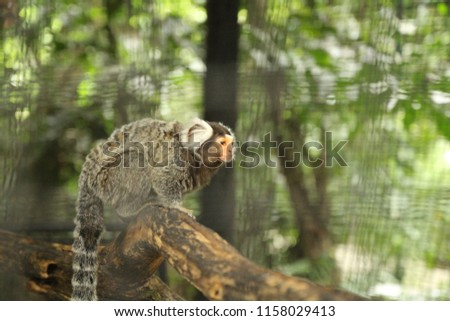 The common marmoset (Callithrix jacchus) is a New World monkey. It originally lived in Brazil. Common marmosets are very small monkeys.