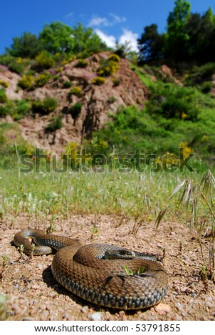 The common Montpellier snake in its natural habitat in the Montseny mountains of Spain.