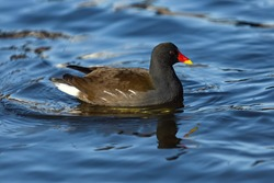 The common moorhen, a black and brown bird with a red and yellow beak, swimming in a blue river on a sunny winter day. Reflection of the bird in the water.