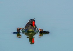 The common moorhen, also known as the waterhen or swamp chicken, is a bird species in the rail family,  common moor hen with chicks in the water