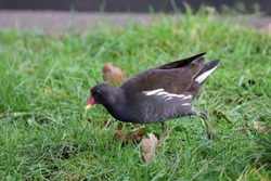 The common moorhen, also known as the waterhen or swamp chicken, is a bird species in the rail family.