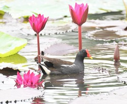 The common moorhen also known as the waterhen or swamp chicken, is a bird species in the rail family . With Flower lotus.