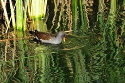 The common moorhen bird (Gallinula chloropus).