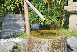 The common moorhen (Gallinula chloropus), also known as the waterhen or swamp chicken drinking water at the bird bath in Holland park, London, Great Britain. Space for copy.