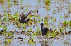 The common moorhen (Gallinula chloropus), also known as the waterhen or swamp chicken, is a bird species in the rail family (Rallidae).  battle of water bird in Thailand.fighting bird.