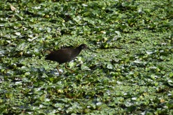 The common moorhen (Gallinula chloropus), also known as the waterhen or swamp chicken, is a bird species in the rail family (Rallidae).