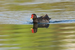 The common moorhen (Gallinula chloropus), also known as the waterhen or swamp chicken, is a bird species in the rail family (Rallidae)
