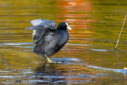The common moorhen Gallinula chloropus also known as the waterhen, the swamp chicken, and as the common gallinule swimming at a blue lake water