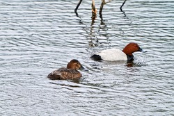 The Common pochard (Aythya ferina) swimming in small pond. The Common pochard is a medium-sized diving duck. Spring 2021. Buivydiskės pond, Vilnius, Lithuania.