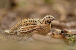The common quail (Coturnix coturnix) is a small ground-nesting game bird in the pheasant family Phasianidae