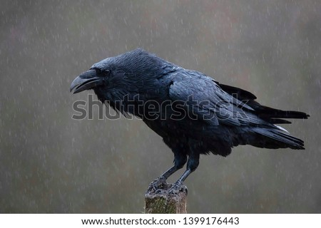 The common raven , also known as the northern raven, all-black passerine bird. A raven is one of several larger-bodied species of the genus Corvus.  Сток-фото ©