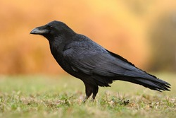 The common raven (Corvus corax), also known as the northern raven, all-black passerine bird. A raven is one of several larger-bodied species of the genus Corvus.