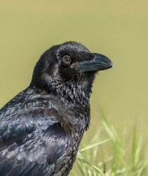 The common raven (Corvus corax), also known as the northern raven, is a large all-black passerine bird.