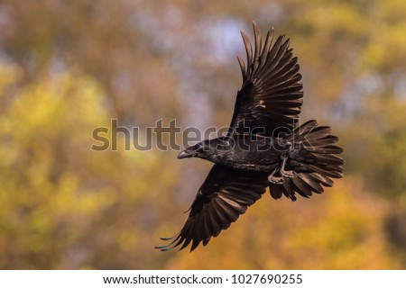 The Common Raven, Corvus corax is flying in the autumn color backgroung, Poland\n