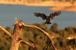 The Common raven (Corvus corax) landing to the branch with a death rabbit. The raven is trying to steal the prey of the Griffon vulture. Blue background.