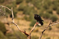 The Common raven (Corvus corax) sitting on the branch with a death rabbit. The raven steal the prey of the Griffon vulture. Green background.