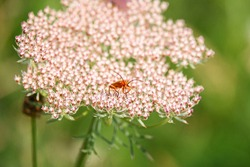 The common red soldier beetle (Rhagonycha fulva), aka the bloodsucker beetle and the hogweed bonking beetle feeding on a wild carrot top