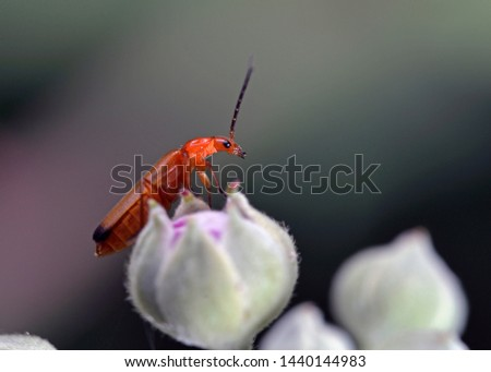 The common red soldier beetle (Rhagonycha fulva), also known as the bloodsucker beetle, and  known in England as the Hogweed Bonking Beetle is a species of soldier beetle, Greece