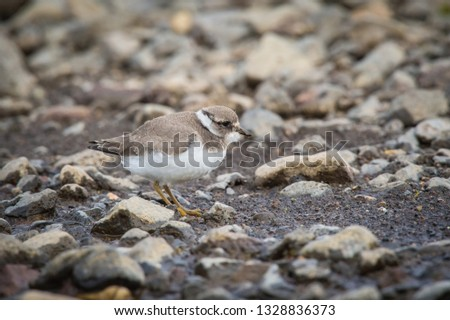 The Common Ringed Plover or Ringed Plover, Charadrius hiaticula is standing in the typical environment in the Iceland  #1328836373
