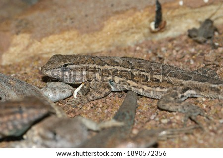 The common side-blotched lizard,  Uta stansburiana, lives in dry regions of western US and north of Mexico. Stock fotó ©
