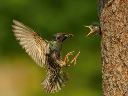 The Common Starling, Sturnus vulgaris is flying with some insect to feed its chick, young bird is opening the beak to be feeded, pretty golden light, green background