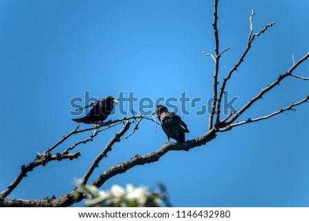 The common starling (Sturnus vulgaris). Starling parent feeding nestling - Shutterstock ID 1146432980