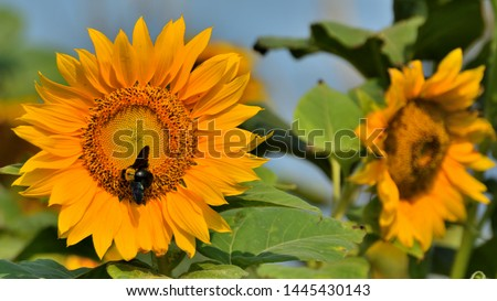 The common sunflower, is a large annual forb of the genus Helianthus grown as a crop for its edible oil and edible fruits
