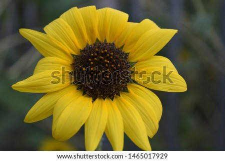 The common sunflower, is a large annual forb of the genus Helianthus grown as a crop for its edible oil and edible fruits.