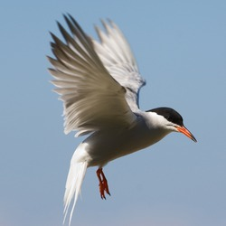 The Common Tern is a seabird of the tern family Sternidae. This bird has a circumpolar distribution breeding in temperate and sub-Arctic regions of Europe, Asia and America. / Tern fliting.