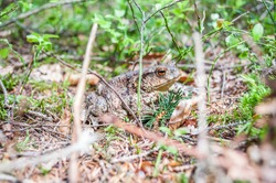 The common toad, European toad (Bufo bufo) in the forest.