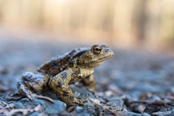The common toad, European toad (Bufo bufo) on woodland road, toads are useful in the garden, they eat slugs and snails.