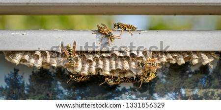 The common wasp (lat. Vespula vulgaris) is a species of Hymenoptera. Creates some of the largest colonies of real wasps. Wasp-an insect whose body is painted in strips of black and yellow.