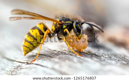 The Common Wasp (Vespula vulgaris) is a social wasp that can form nests as small as a dozen or so in the roof of your shed to colonies boasting 10 000+ in burrows or other suitable nesting sites.