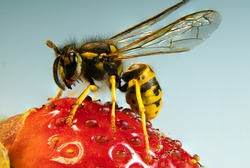 The common wasp (Vespula vulgaris) is a wasp species from the genus of the short-headed wasps (Vespula) and belongs to the real wasps (Vespinae).