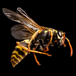 The Common wasps (Vespula vulgaris) is found in much of Eurasia.