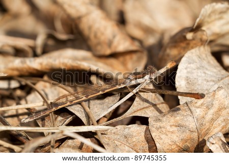 The Common Winter Damselfly, Sympecma fusca, camouflaged between twighs and leaves