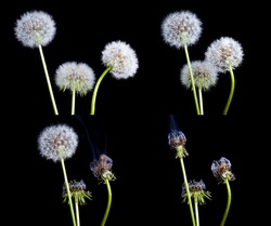 The composition of four pictures with the dandelions.