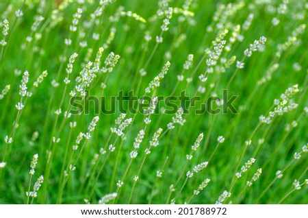 The composition of the green shoots of lavender. natural composition