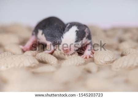The concept of blindness. Newborn mouse children did not open their eyes. Blind cubs. #1545203723