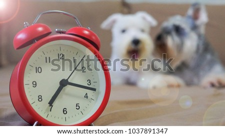 Stock Photo The concept of Just wake up and It's time for say good morning on the bed, feeling so sleepy and shown the action of yawn by schnauzer dogs