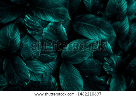 The concept of leaves of Cannifolium spathiphyllum, abstract dark green surface, natural background, tropical leaves