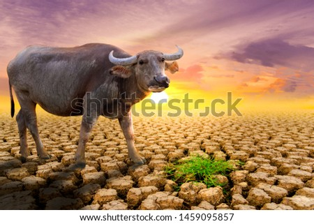 The concept of natural drought of the environment on Earth: causes animals (buffalo) lacking food, dry soil, soil, background, soil surface with soil erosion #1459095857