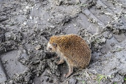 The concept of the destruction of nature, climate change, environmental disasters, animal protection. Exhausted animal hedgehog on the lifeless land with traces of the tread, selective focus.