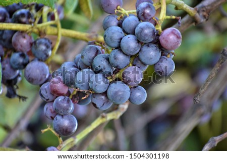 The Concord grape is a cultivar derived from the grape species Vitis labrusca that are used as table grapes, wine grapes and juice grapes.  #1504301198