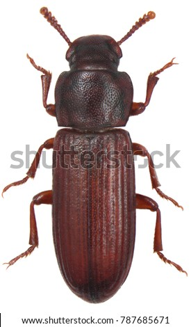 The confused flour beetle Tribolium confusum is a species of beetle in the family Tenebrionidae, the darkling beetles. Isolated on a white background.