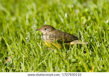 The Connecticut warbler is a small songbird of the New World warbler family. These medium-sized warblers measure 13–15 cm in length, with a 22–23 cm wingspan. Connecticut warblers weigh 10 g when they Stock fotó ©