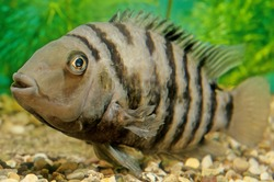 The convict cichlid (Amatitlania nigrofasciata) is a fish species from the family Cichlidae, native to Central America, also known as the zebra cichlid